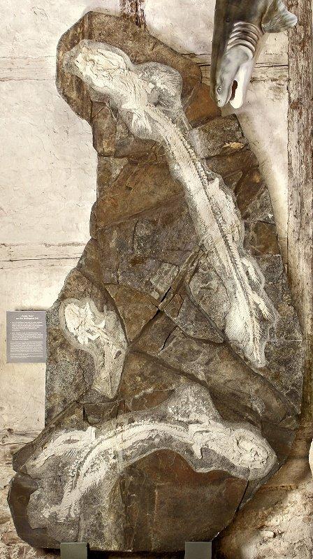 FOSSIL DES JAHRES 2011 im Museum Schleusingen