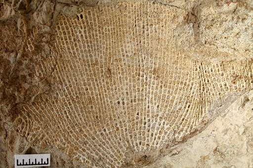 Moostierchen Rectifenestella retiformis