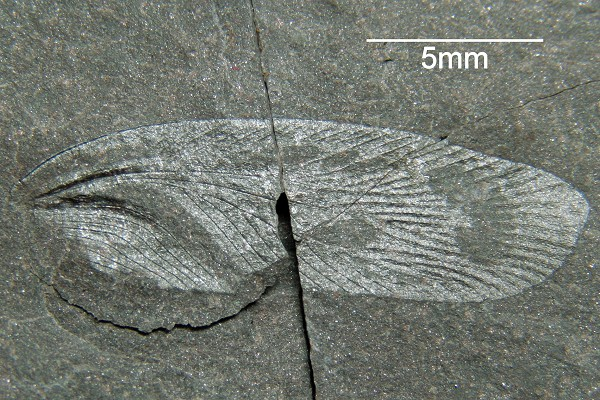 Vorderflügel einer Schabe