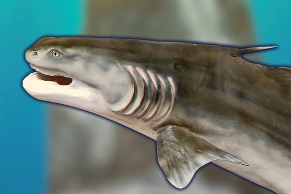 Rekonstruktion eines Süßwasser-Hais aus dem Unteren Perm im Naturhistorischen Museum Schloss Bertholdsburg Schleusingen