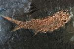 Fossiler Fisch vom Gottlob