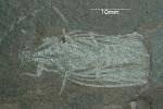 Schabe aus einer Seeablagerung der Rotliegend-Zeit vor ca. 290 Millionen Jahren