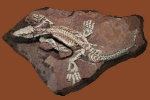 Ursaurier Orobates pabsti