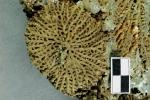 Moostierchen Synocladia dubia - Erbauer der Riffe im Zechstein