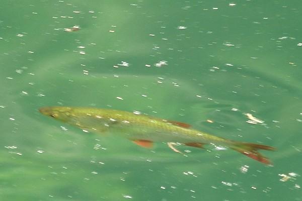 Fisch im Bergsee Ebertswiese