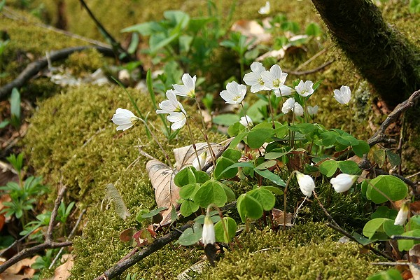 Blühender Klee im Thüringer Wald