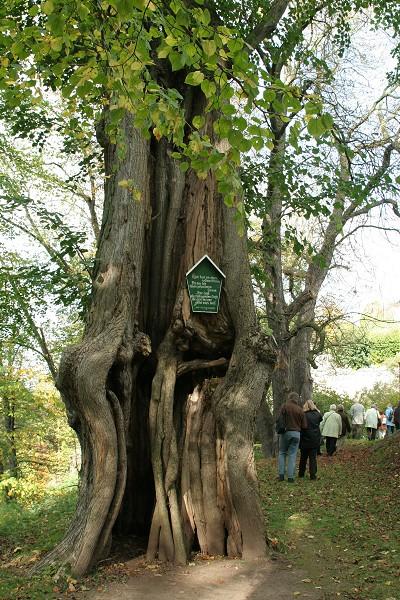 Alter Baum im Landschaftspark Altenstein bei Bad Liebenstein